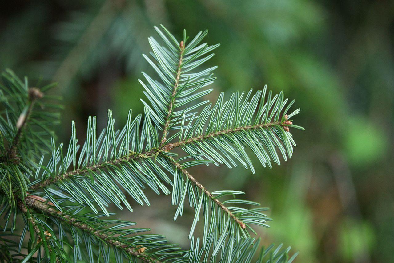 пихта дерево фото листьев арсений много времени